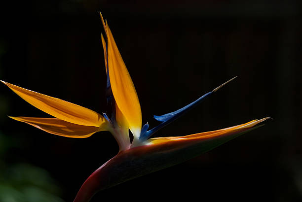Bird of Paradise Isolated on black stock photo