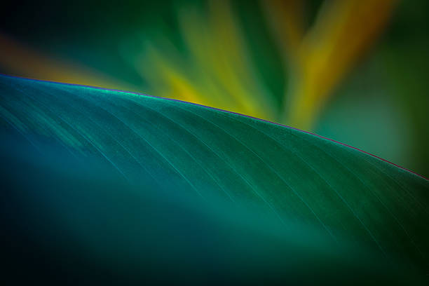 Bird of paradise leaf stock photo