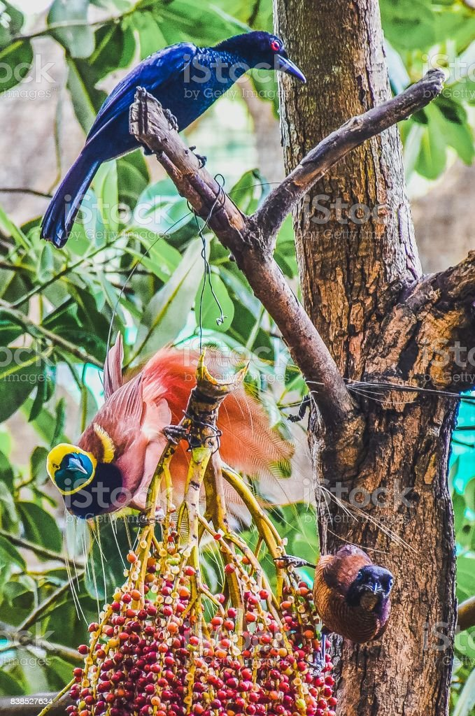 Ave del paraíso del árbol comiendo frutas rojas con dos otras aves tropicales - foto de stock