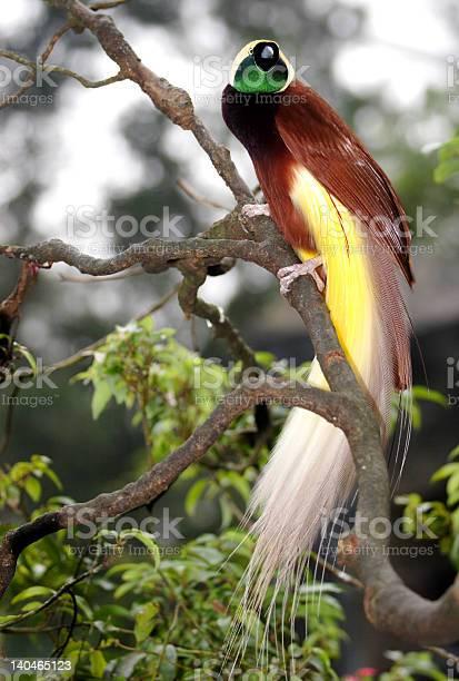 Bird of paradise picture id140465123?b=1&k=6&m=140465123&s=612x612&h=rfr7unbau5cju9smtgy5rqowk2ccn26r5gfuri3dpna=