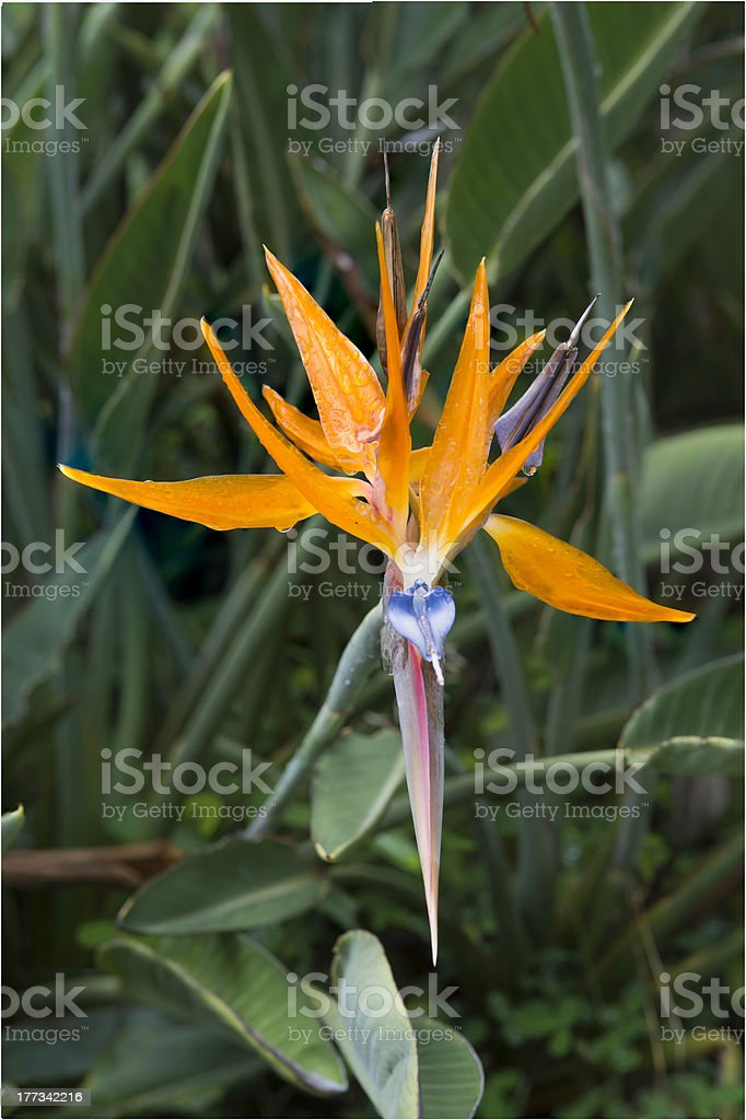 Bird of Paradise (XXL) royalty-free stock photo