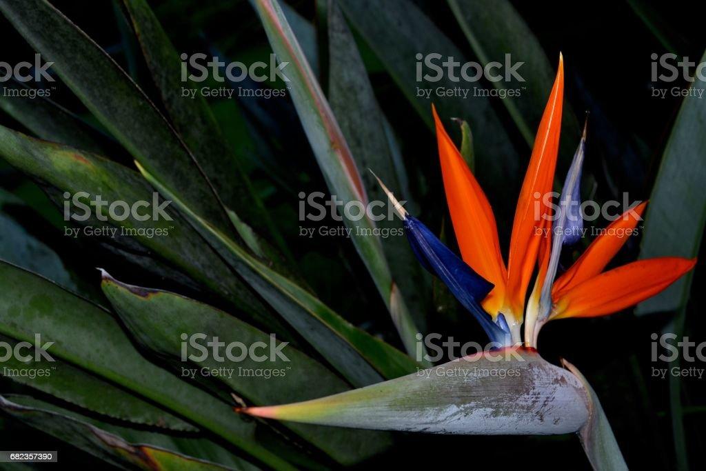 Bird of Paradise royaltyfri bildbanksbilder