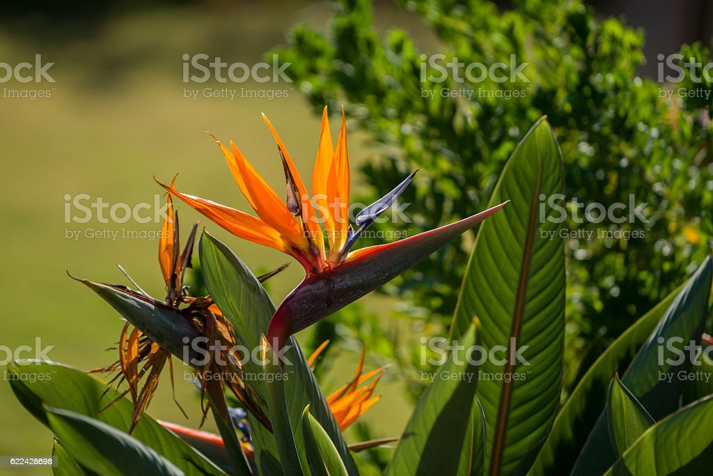 Bird of Paradise Plant in Full Seasonal Bloom stock photo