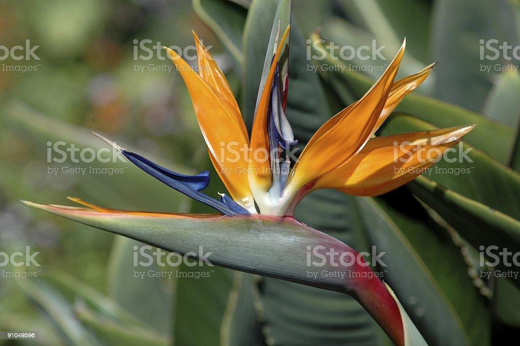 bird of paradise, Strelitzia reginae royalty-free stock photo