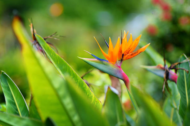 Bird of paradise tropical flower, famous plant found on island of Hawaii stock photo