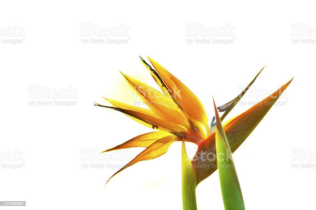 Bird of Paradise Tropical Flower on White Background stock photo
