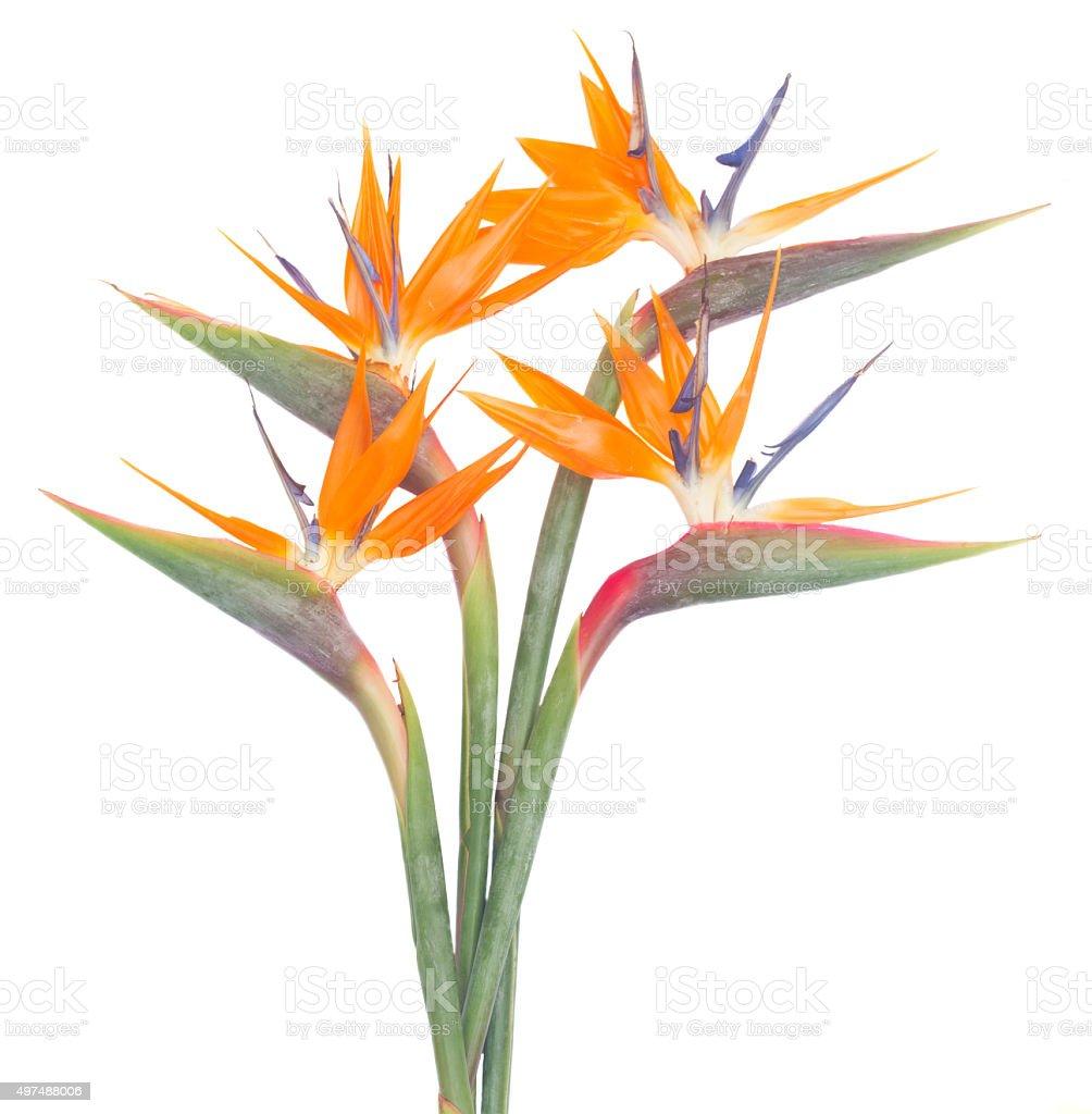 Bird of paradize flower stock photo