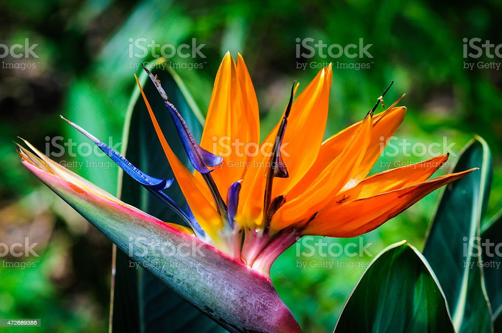 Bird of Paridise Flower stock photo
