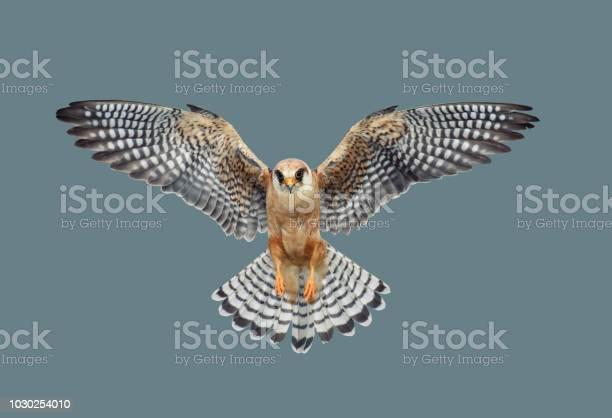 Bird of predatory hawk picture id1030254010?b=1&k=6&m=1030254010&s=612x612&h=o vj7bxm7l0pos6td3fyuymf0xu0rqmeaoda  6fgjq=