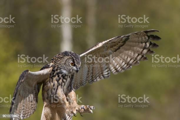 Bird of prey attacking prey european eagle owl hunting picture id901373962?b=1&k=6&m=901373962&s=612x612&h=qilifwsw2ateea8 fa04hm bkmfcrjfqpnwiziuog94=