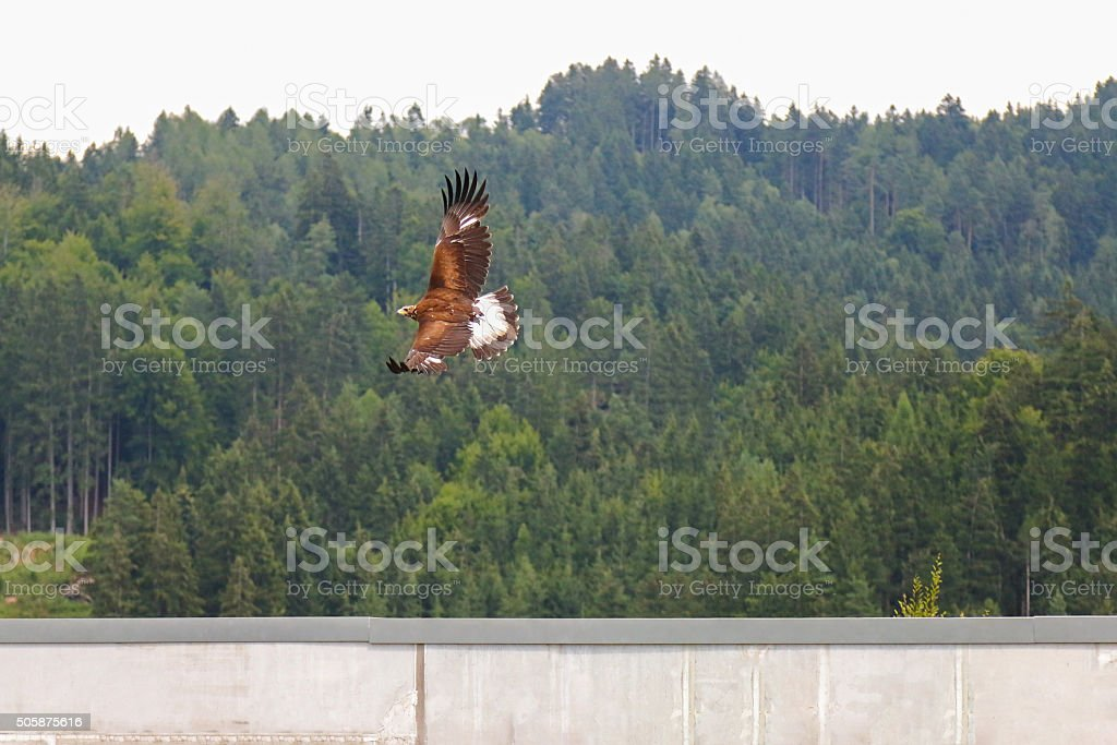 Bird of prey in flight, Golden eagle (Aquila chrysaetos) stock photo