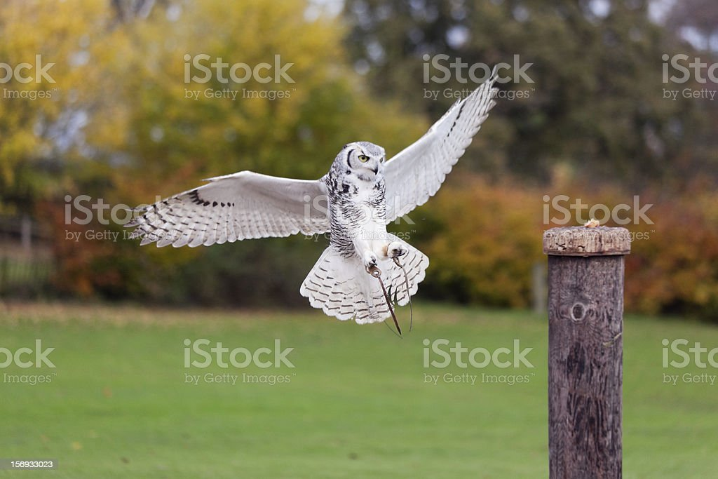 Bird of Prey Landing stock photo