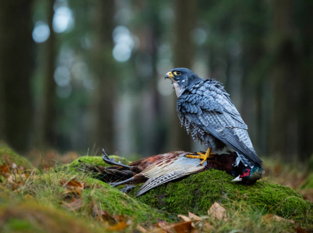 bird of prey slechtvalk (falco peregrinus - peregrina stockfoto's en -beelden