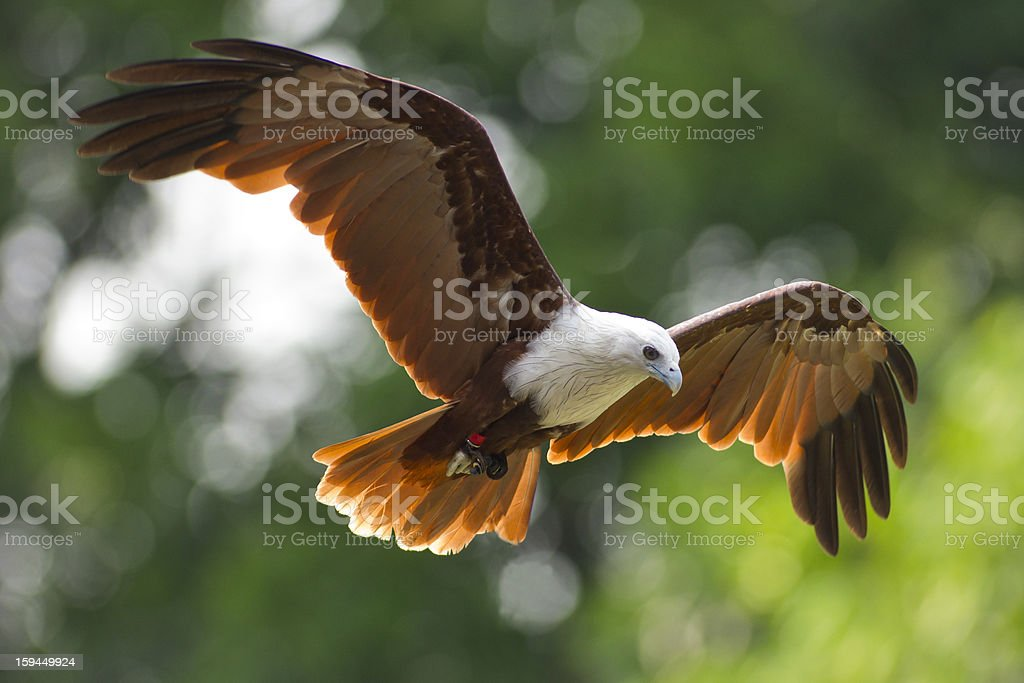 Bird of Prey royalty-free stock photo