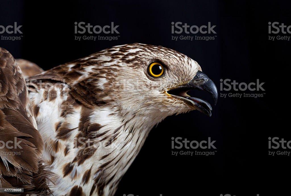 Bird of Prey foto