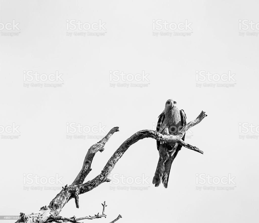 Bird of Prey Resting on Dead Tree Branch stock photo