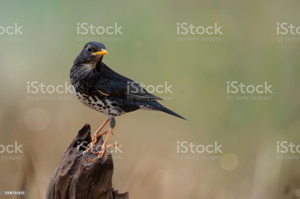 Rare winter visitor bird, Japanese thrush on a log. Bird on a log