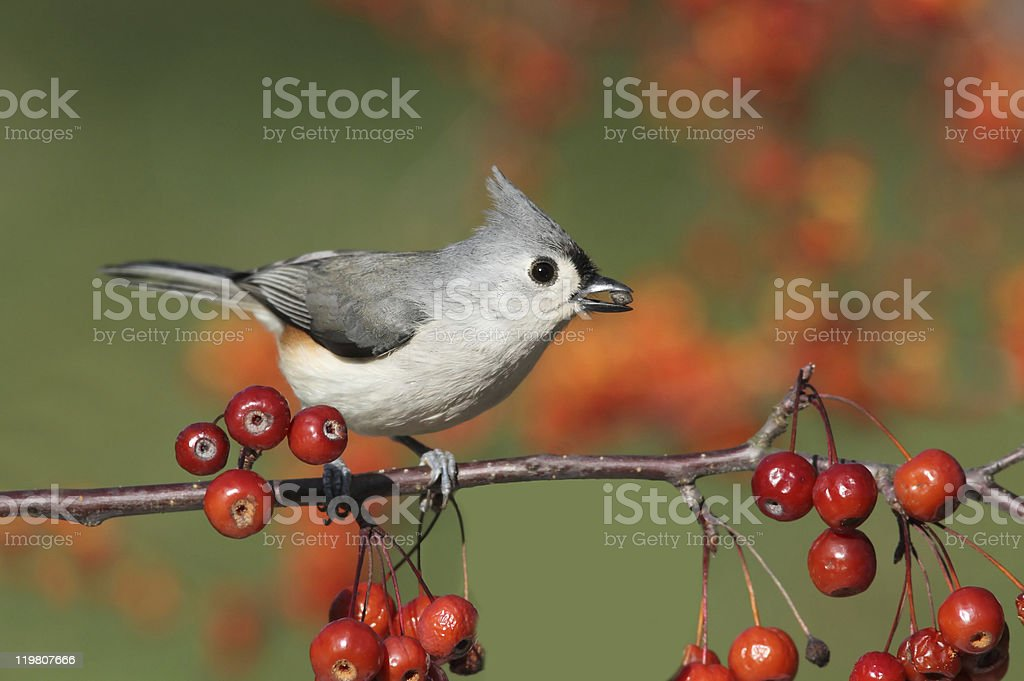 Bird On A Perch With Cherries stock photo