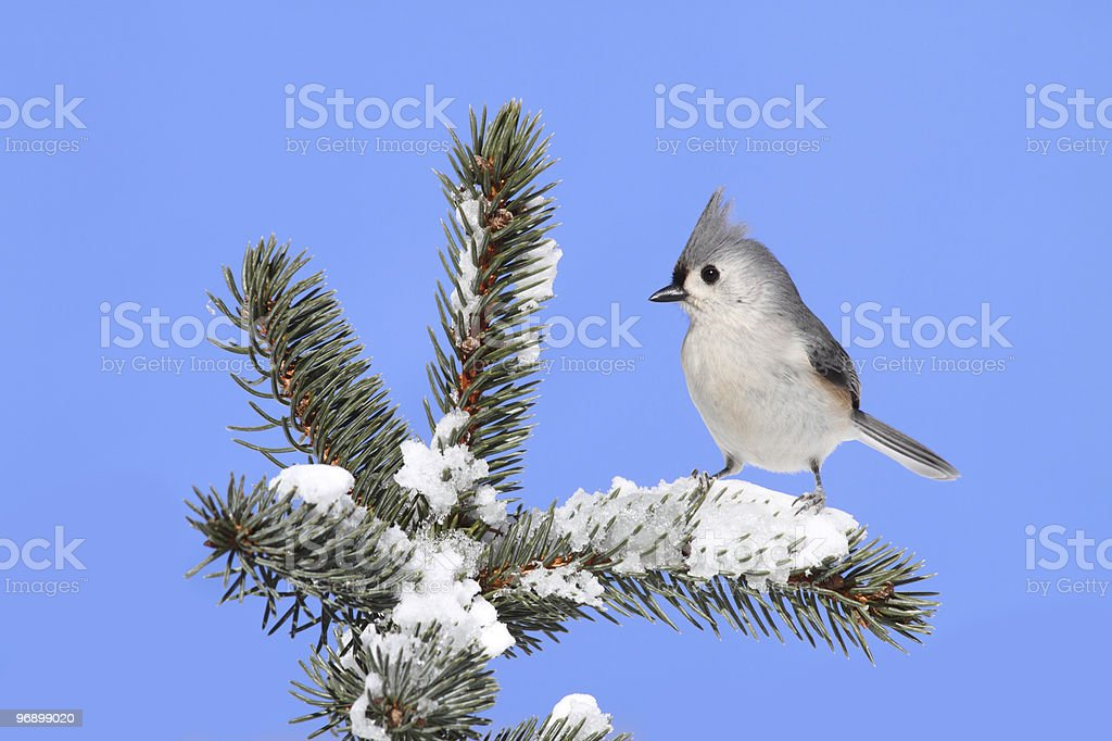 Bird On A Spruce Tree With Snow royalty-free stock photo