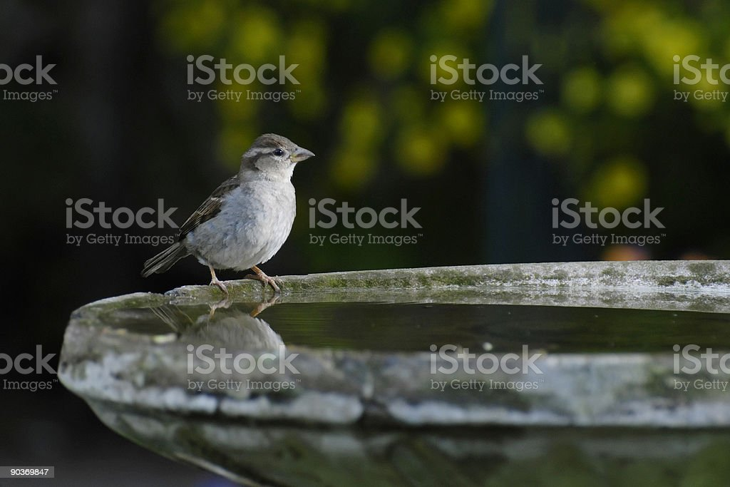 Bird on Birdbath stock photo
