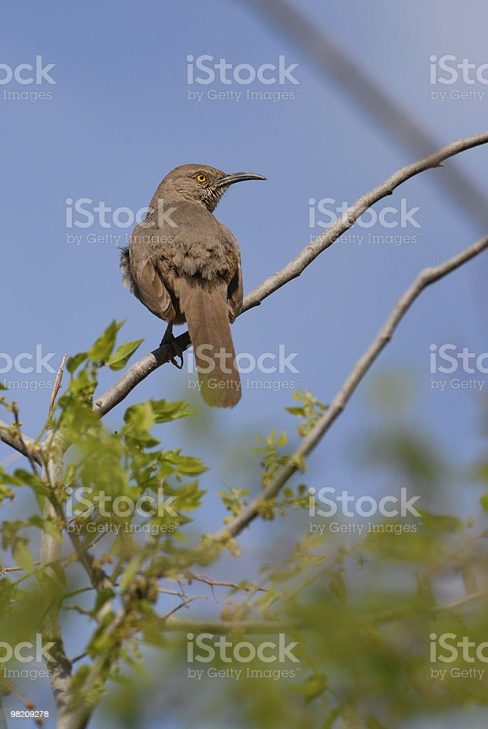 Bird on Branch (Thrasher) royalty-free stock photo