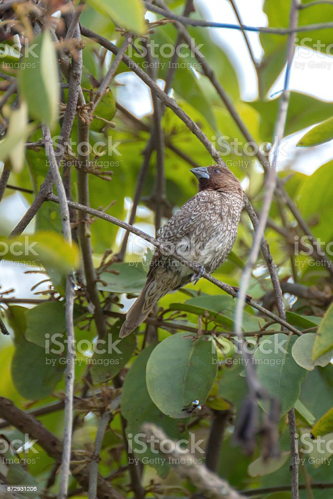 Bird On Branches Of Trees, Species (Scaly-breasted Munia; Lonchura punctulata) stock photo