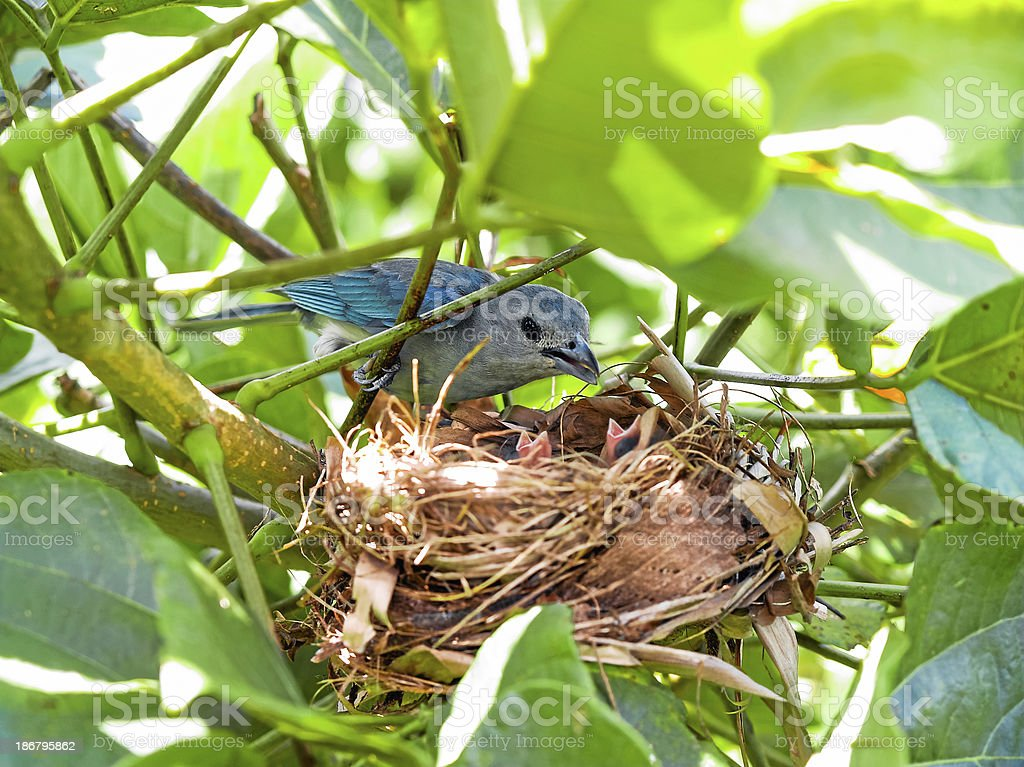 bird on nest with young. Fauna in Paraguay, South America royalty-free stock photo