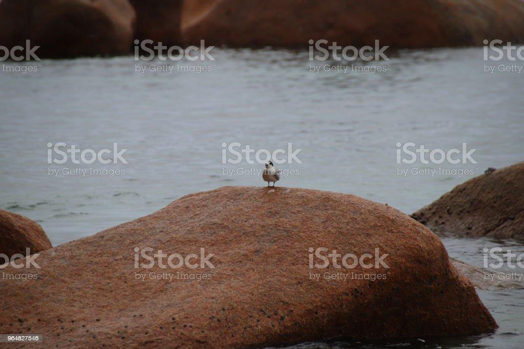 Bird on red Granite Rocks, Beach Anse Lazio, Praslin Island, Seychelles, Indian Ocean, Africa royalty-free stock photo