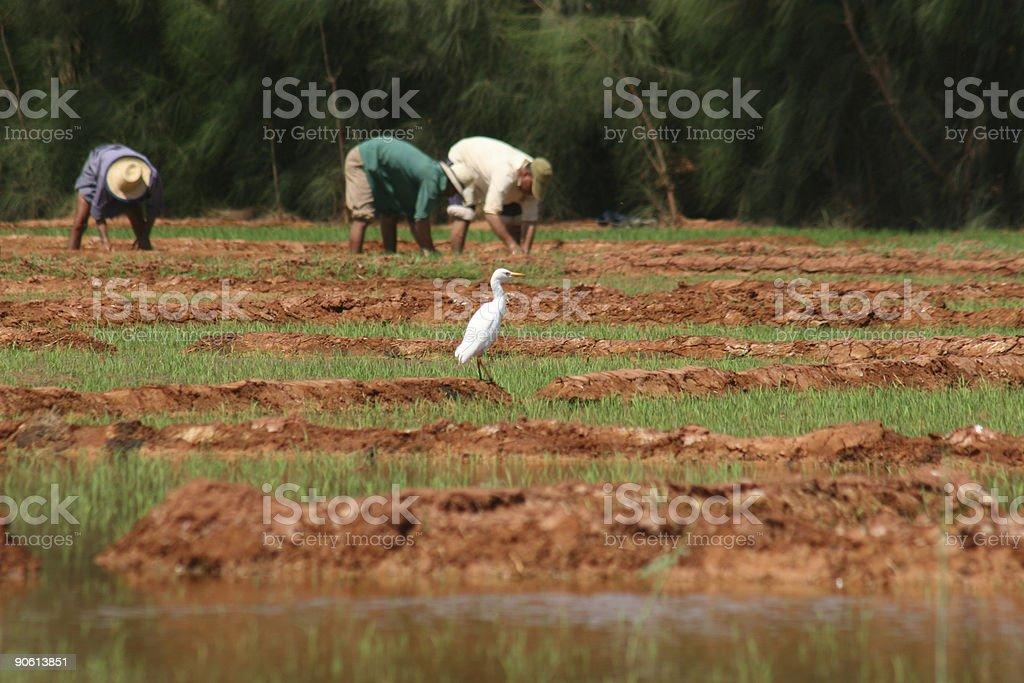 Bird on rice field royalty-free stock photo