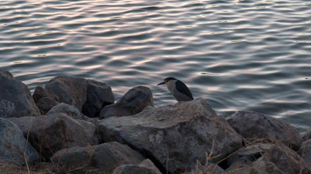 Bird on rock at dusk in Virginia Lake Park stock photo