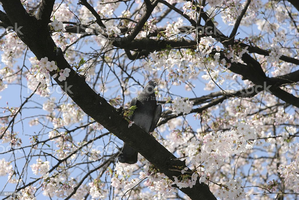 Bird on Sakura tree royalty-free stock photo