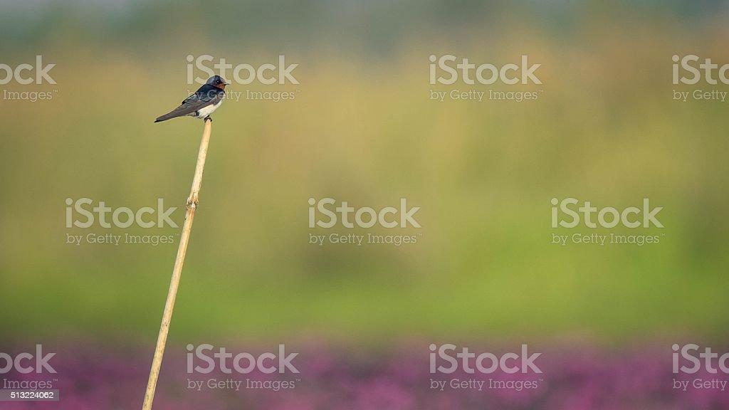Bird On the marsh red loutus stock photo