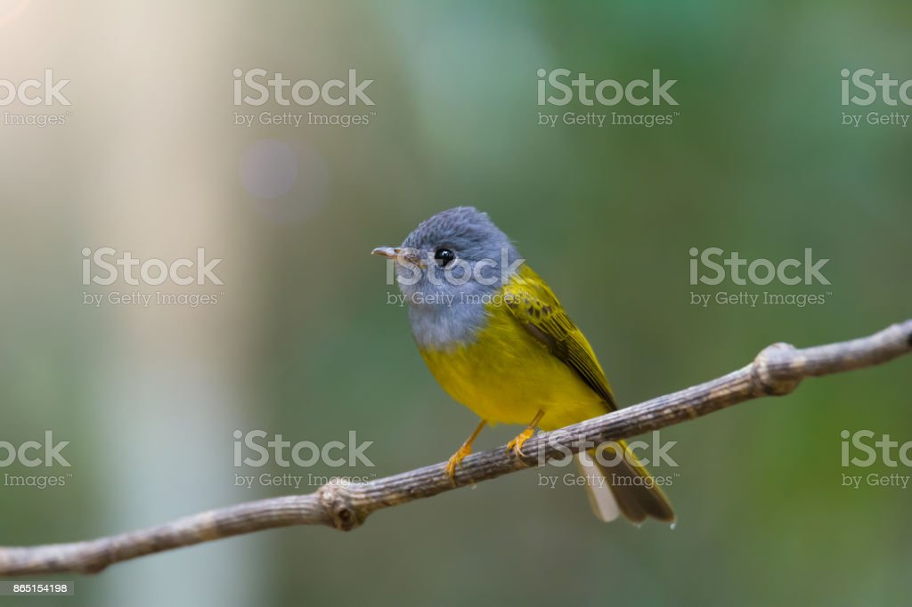 Grey headed bird perching on a vine over the pond with natural...