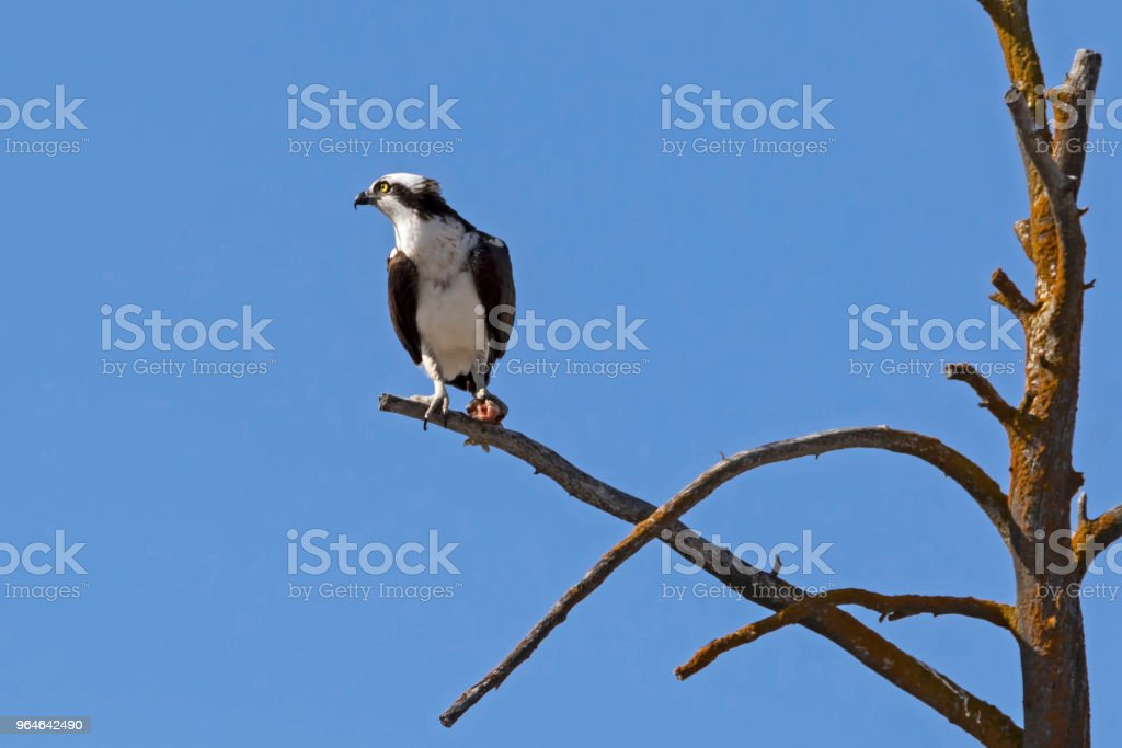 Bird osprey at tree perch in Yellowstone National Park royalty-free stock photo