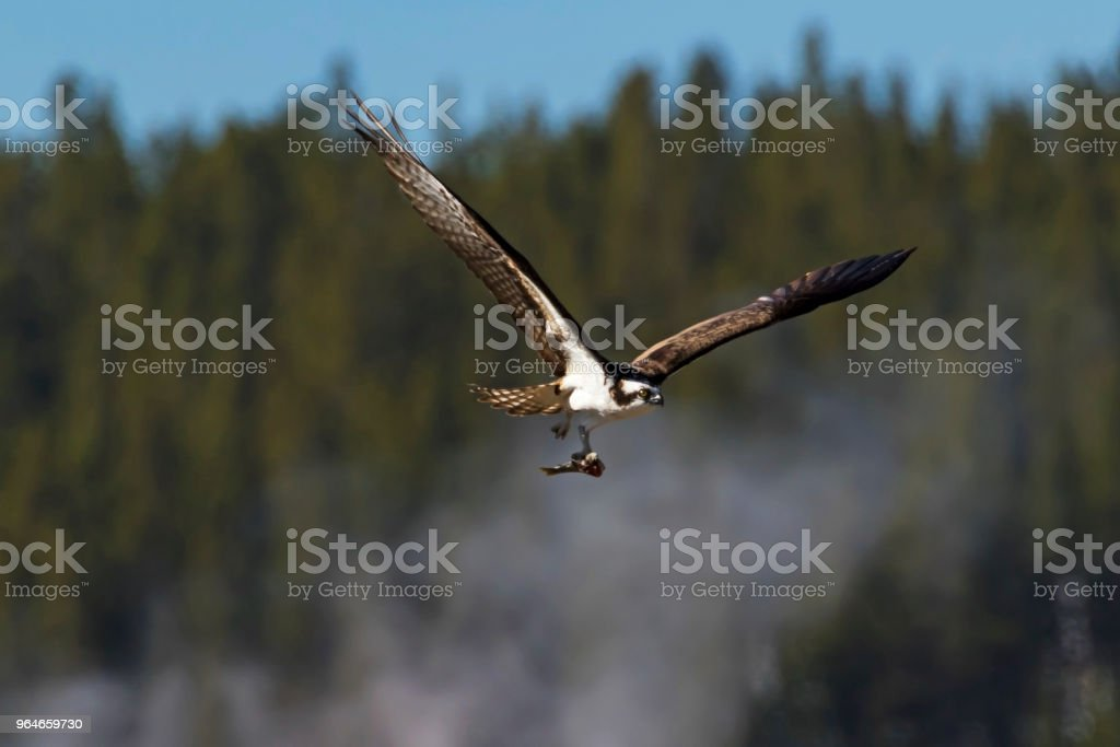 Bird osprey flying at Yellowstone with fish royalty-free stock photo