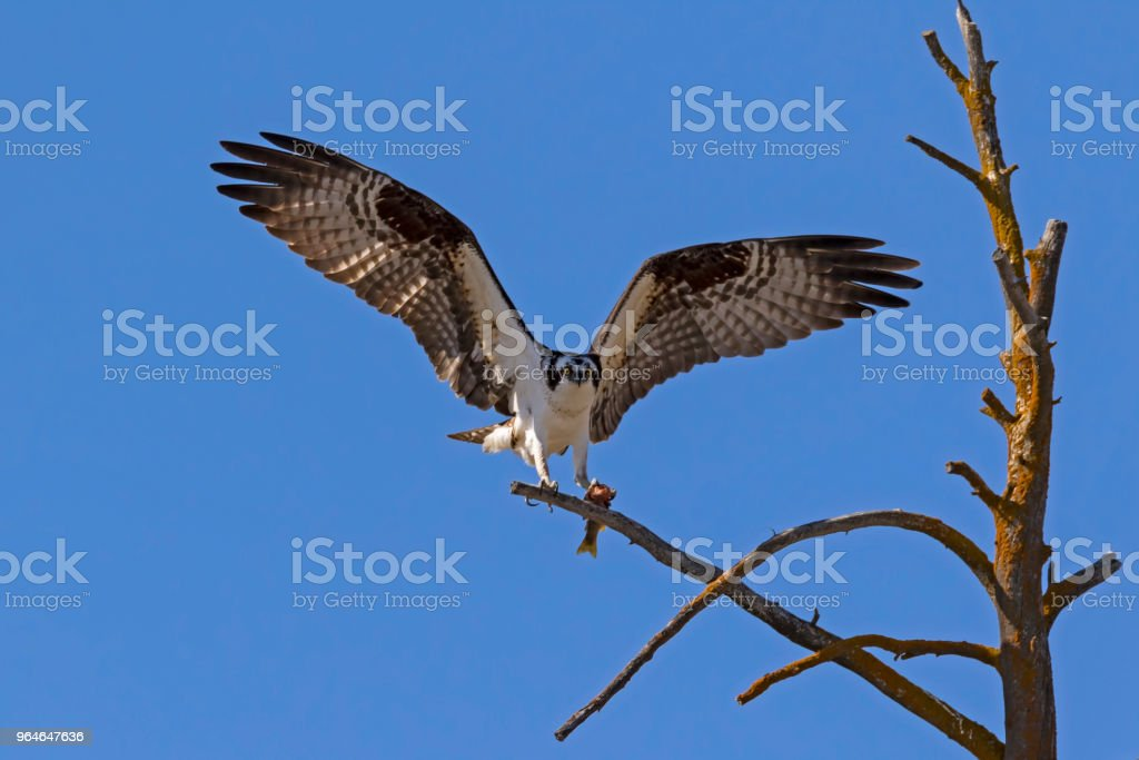 Bird osprey landing with prey at Yellowstone royalty-free stock photo
