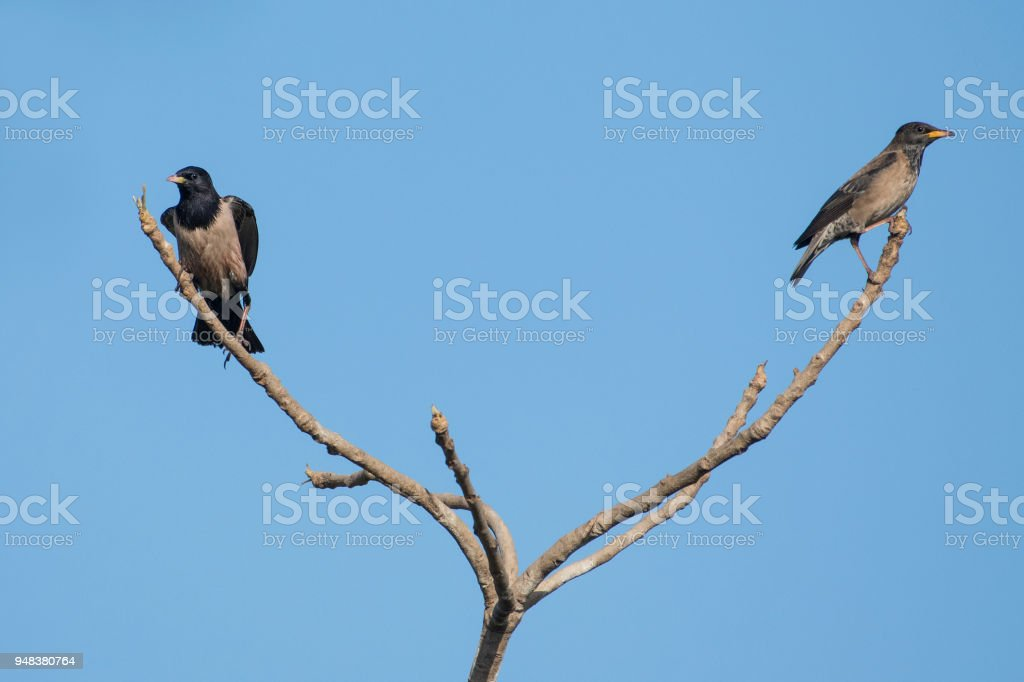 Bird: Pair of  Rosy Starling Perched on a Tree Branch stock photo