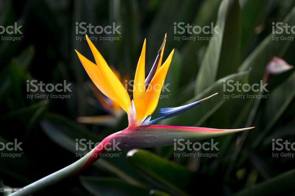 flor de paraíso de aves en el jardín - foto de stock