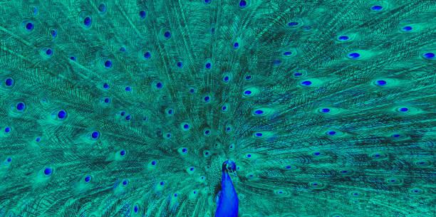 vogel - paradies - pfau bilder stock-fotos und bilder