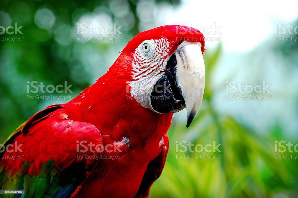 Bird - Parrot royalty-free stock photo