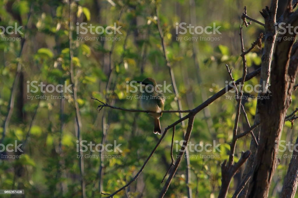 Bird Perched in a Tree in South Africa royalty-free stock photo