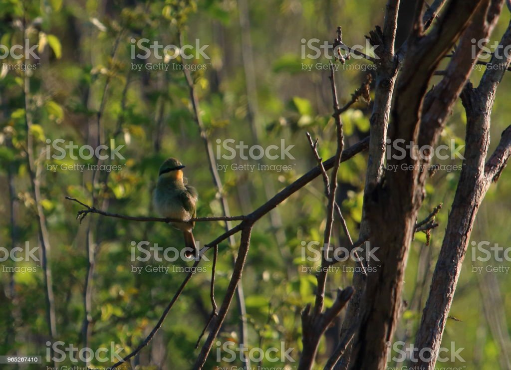 Bird Perched in a Tree in South Africa zbiór zdjęć royalty-free