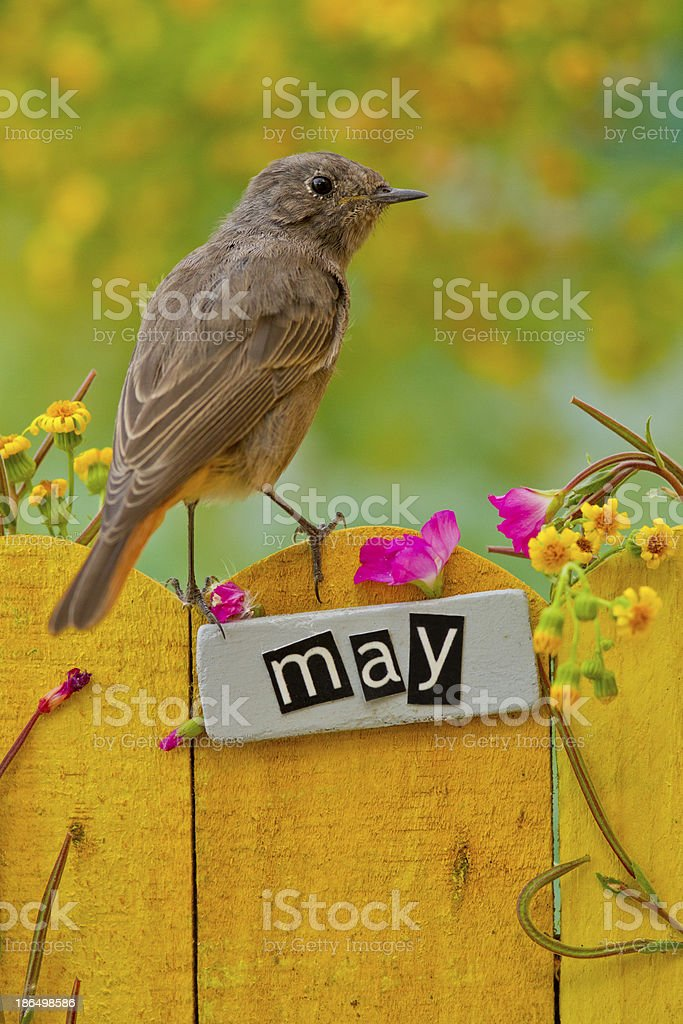 Bird perched on a May decorated fence royalty-free stock photo