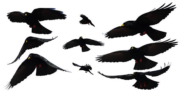 bird - saatkrähe stock-fotos und bilder