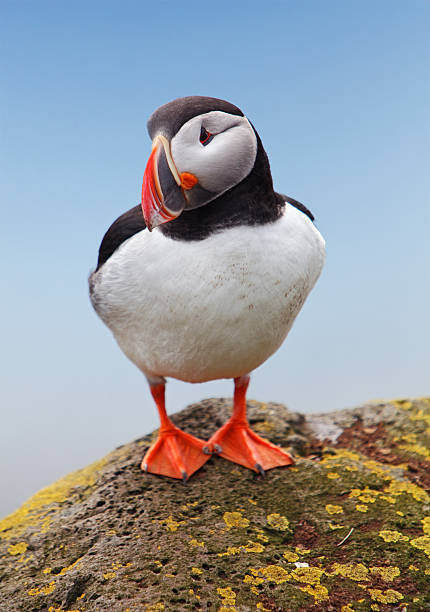 Bird Puffin - Norway Bird Puffin - Norway auk stock pictures, royalty-free photos & images