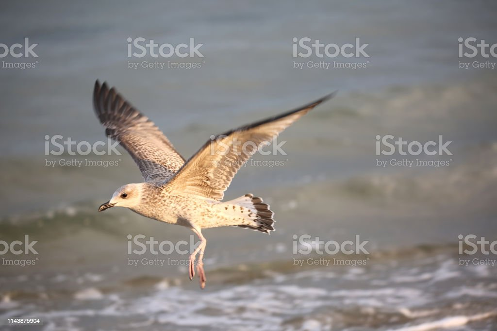 bird sea gull flies in summer by the Mediterranean sea with opened...