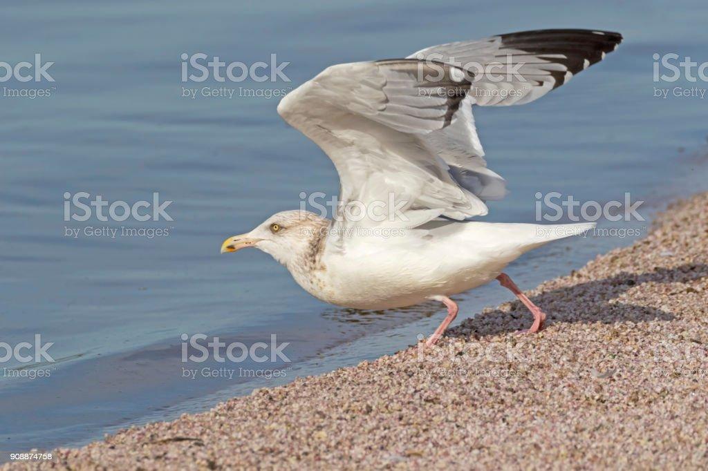 Sea gull take-off at the desert shore
