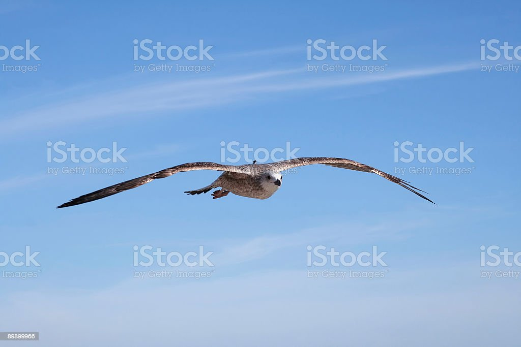 Uccello, gabbiano foto stock royalty-free
