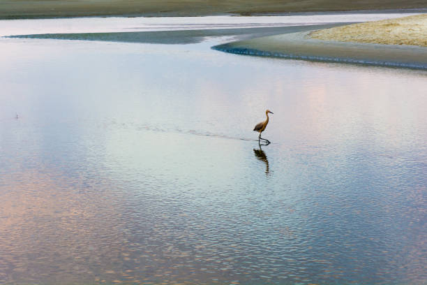 A bird searches the waters for food stock photo