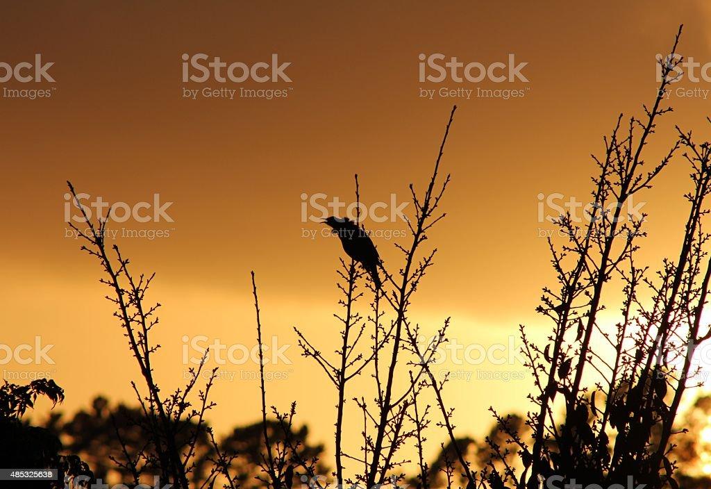 Bird silhouette singing in the sunrise stock photo